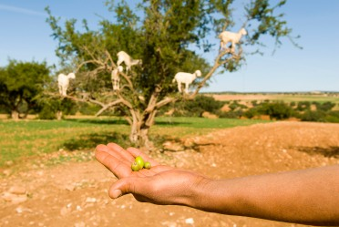 argan-nuts-with-goats